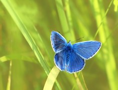 common-blue-1352586__180